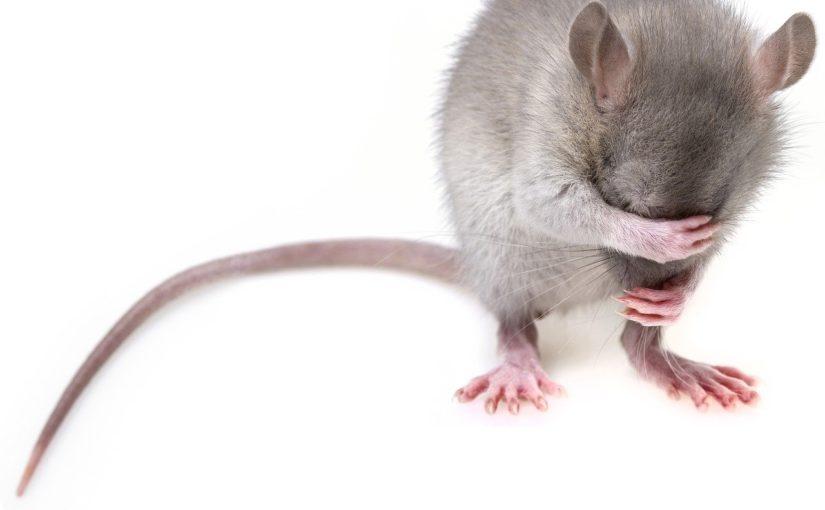 Myszy w domu, czy są niebezpieczne dla zdrowia?